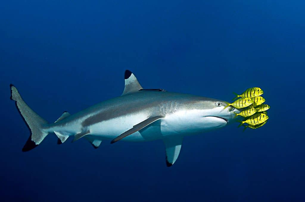 Truk Wreck Diving Liveaboard Holiday Shark and yellow fish