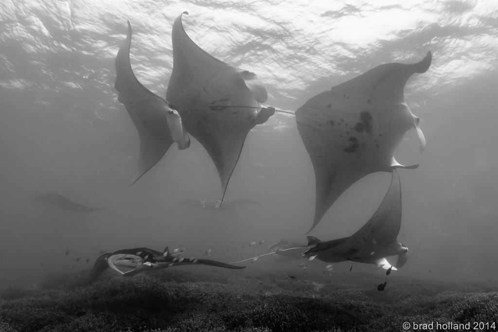 Yap Diving Holiday Beach sqaudron of manta rays