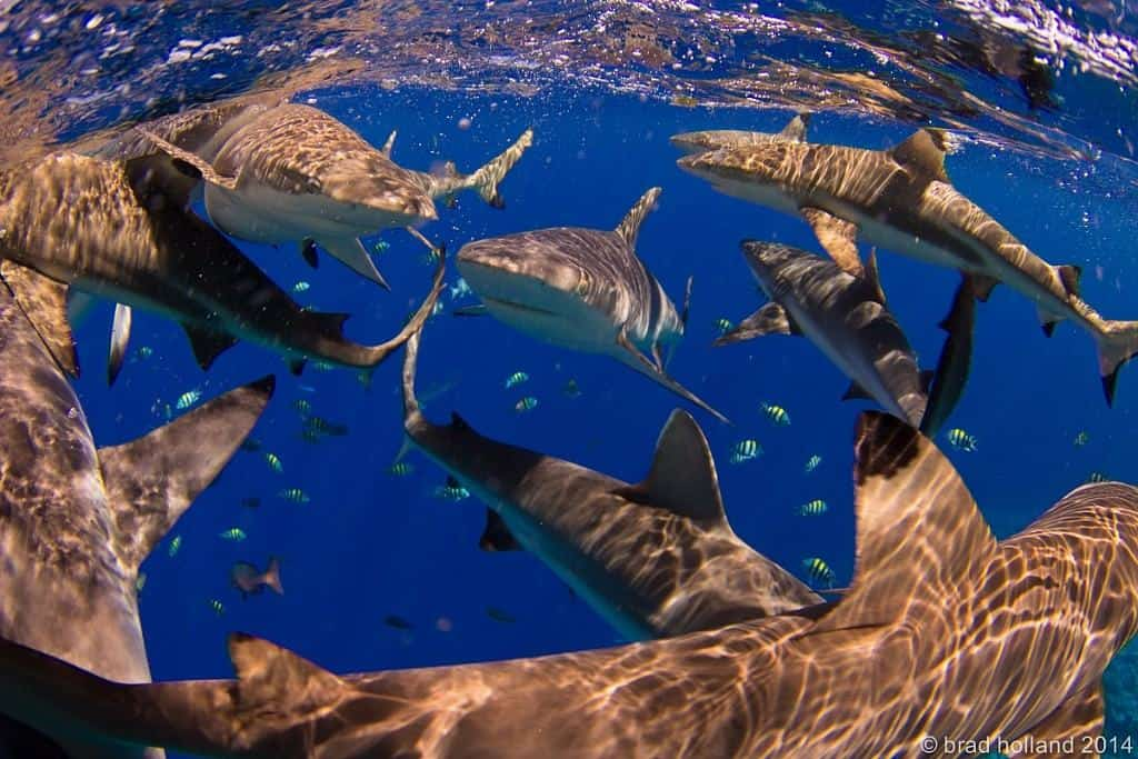 Yap Diving Holiday group of sharks