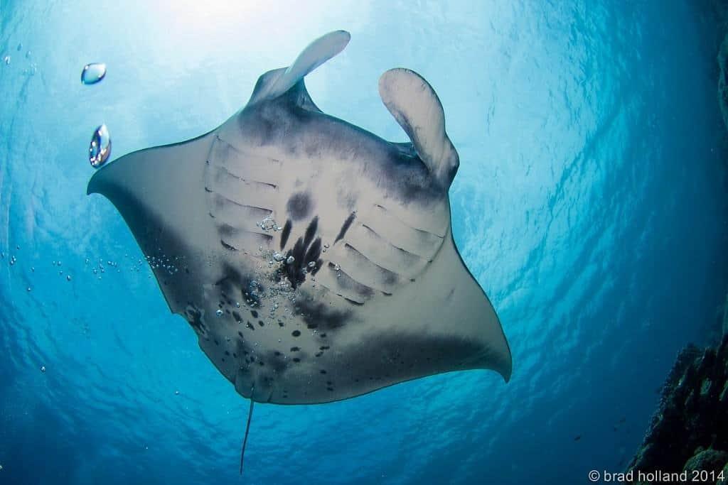 Yap Diving Holiday manta ray underneath
