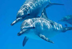 Red Sea liveaboard holiday Spinner Dolphins At Sataya Kebir