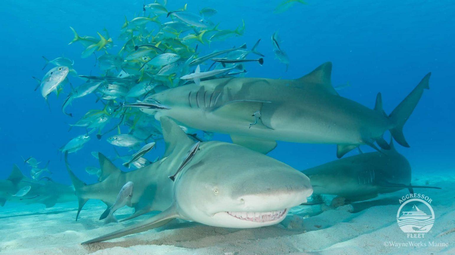 Bahamas Aggressor Sharks