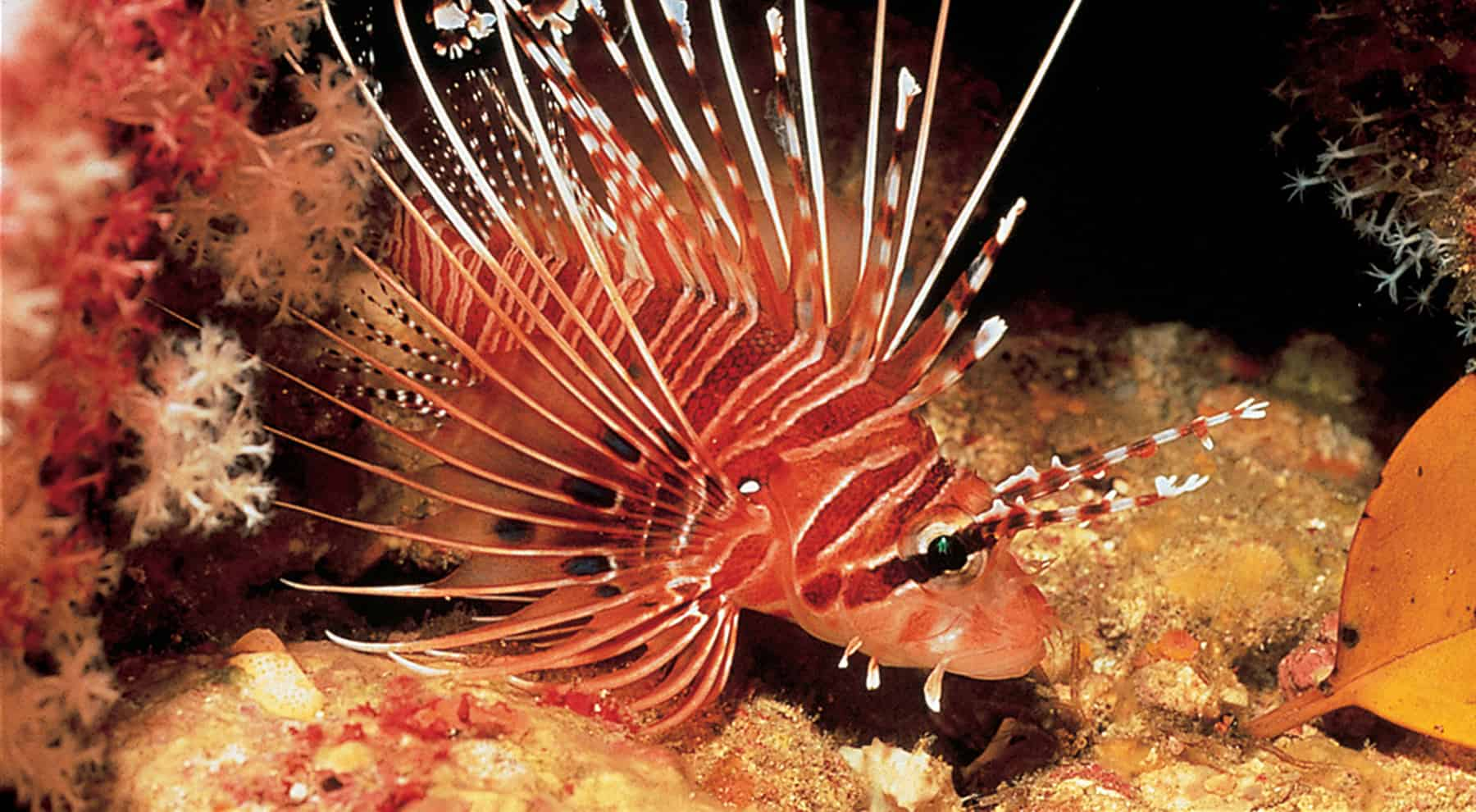 Thailand Diving Holidays lionfish