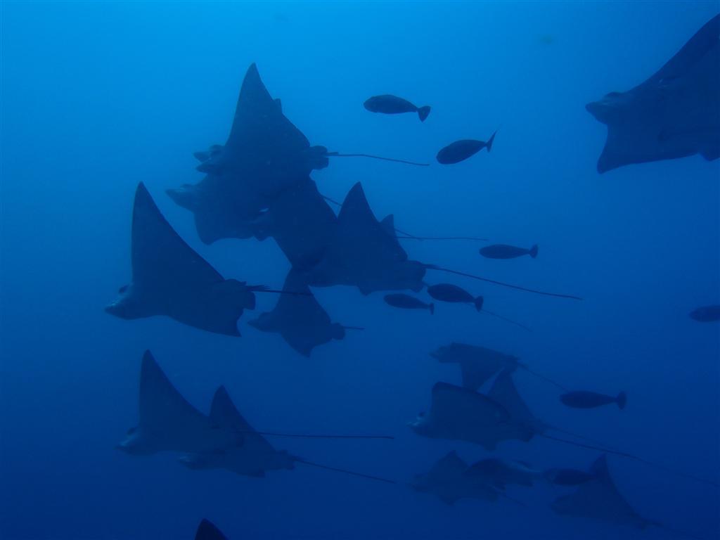 Maldives Diving Holiday Eriyadu Island Resort mantas
