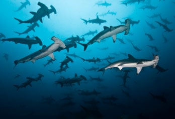 sharks group